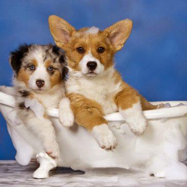 Hướng dẫn tắm cho chó Corgi đúng cách