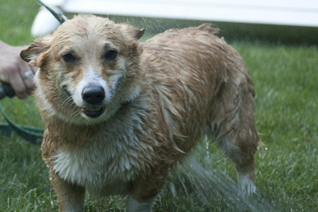Hướng dẫn tắm cho chó Corgi đúng cách 1